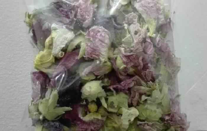 فروش انواع گل ختمی به صورت عمده + کمترین قیمت